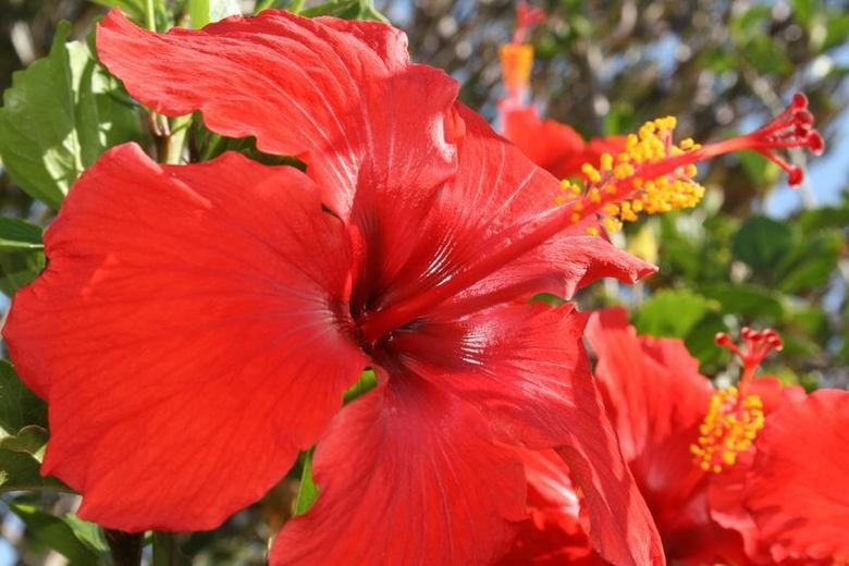 Chinese Hibiscus (Hibiscus rosa-sinensisis)