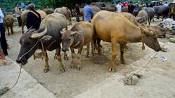 Vente aux boeufs au marché de Bac Ha