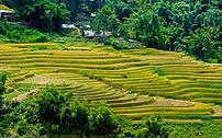 Rizières en terrasse de Sapa au Vietnam