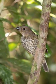 Toothbilled Bowerbird
