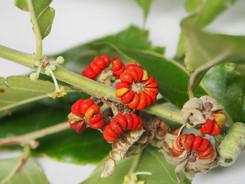 Buttonwood (Glochidion hylandii) seeds.J