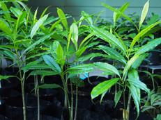 Cassowary Plum (Cerbera floribunda) seed
