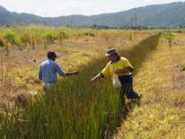 Constructed wetland, picking Schoenoplec