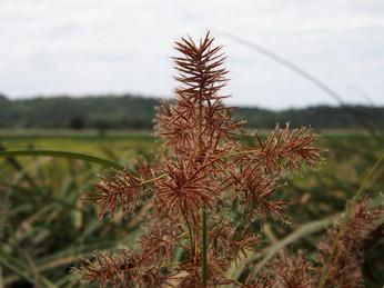 Sedge seed, Cyperus lucidus.JPG