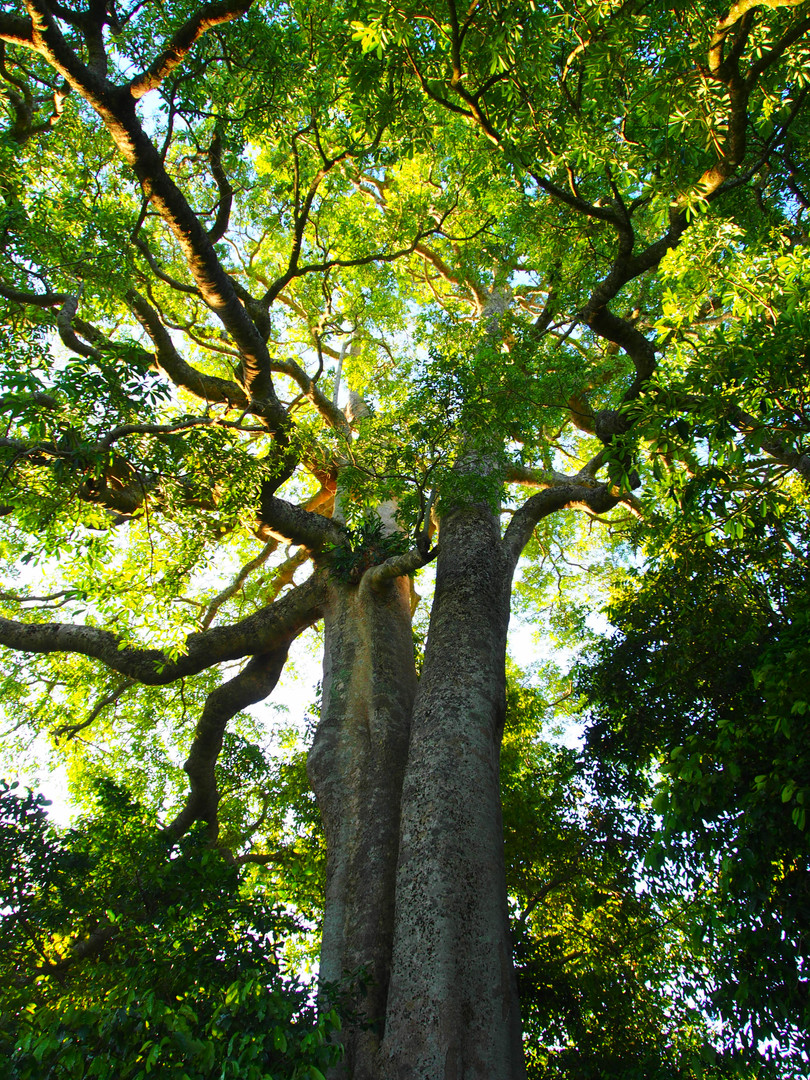Extroarindarily large Milky Pine (Alston