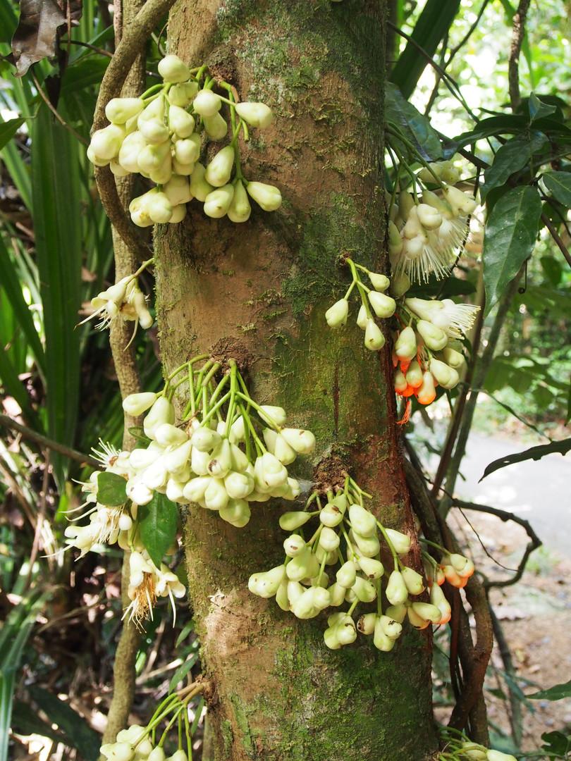 Bumpy Satinash (Syzygium cormiflorum) fr