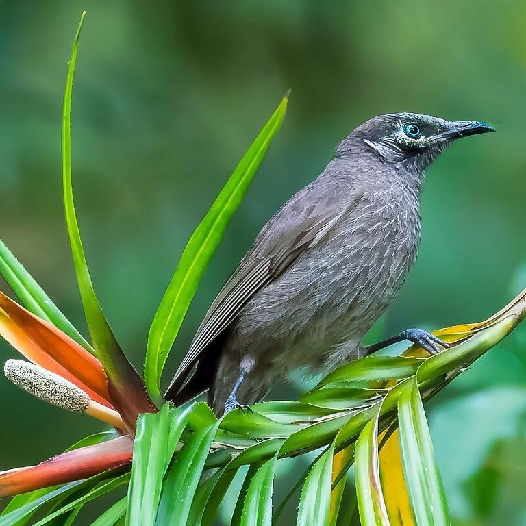 EUNGELLA BIRD WEEK