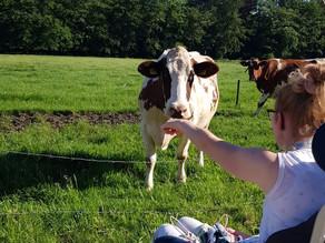 Koeien knuffelen