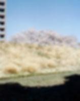 桜と影.jpg