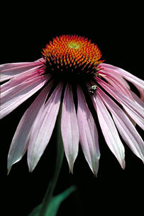 purple coneflower usfws medium.jpg