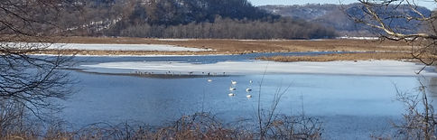 Trumpeter swans and Trempealeau Mt.jpg