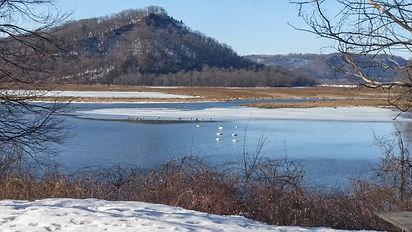 Trumpeter swans and Trempealeau Mt.jpg