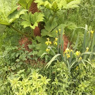 iris local et rhubarbe exotique