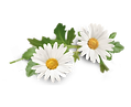 camomile-500x500.png