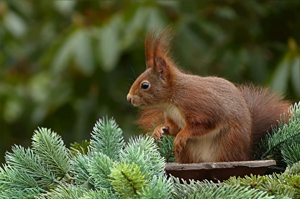 animal_squirrel_sciurus_vulgaris_major_mammal_garden_futtersuche-1186513.jpg!d