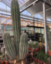 Billigblomt stueplanter