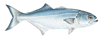 bluefish_edited.png