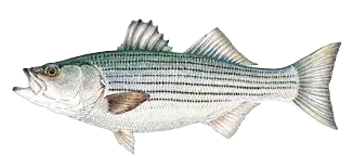 stripedbass_edited.png