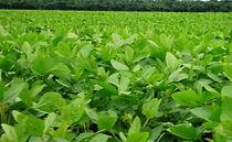 análise de solo nematóide folhas calcário dejeto suíno grãos vinhaça