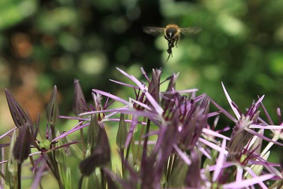 thumbnail_Bee on alium.jpg