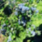 vancouver island blueberries