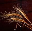 barley-676551_1920.jpg