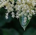 elderflower-3404998_1920.jpg
