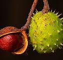 chestnut-4460384_1920.jpg