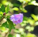 hibiscus-3541883_1920.jpg
