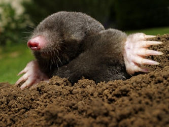 Mole Control by Ditton Services