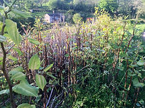 Japanese Knotweed by Ditton Services