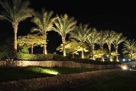 Date palms. Evening mood lighting.jpg