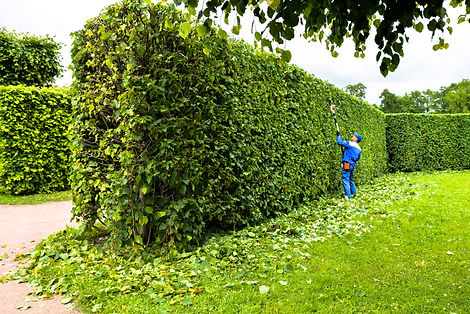 Man is cutting hedge in the park. Profes