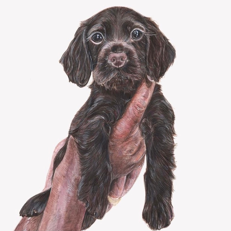 Detailed brown Spaniel puppy drawing in colour.