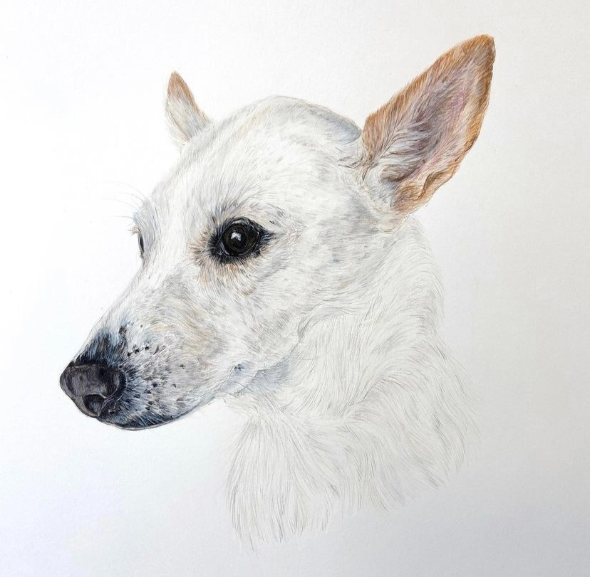 Detailed colour drawing of a white dog.