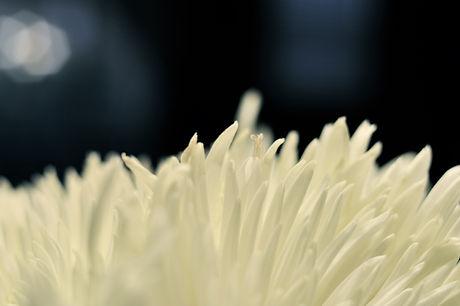 Hvit blomst sort bakgrunn pikwizard-5bf7