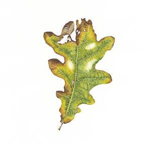 Oak Leaf No. 3
