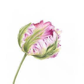 Parrott Tulip No. 1