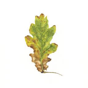 Oak Leaf No. 2