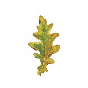 Oak Leaf No. 1