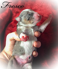 aussiedoode puppies for sale