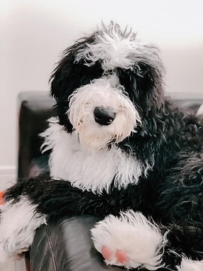 Sheepadoodle puppies for sale