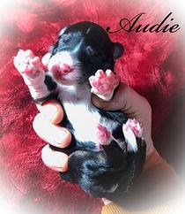 Aussiedoodle breeder