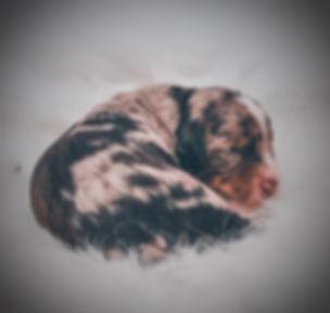 aussiedoodle breeder Alberta