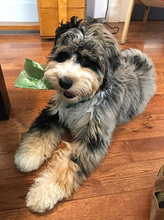 Aussiedoodle puppies for sale Calgary