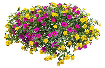 petunias-colorful-flowers-isolated-white