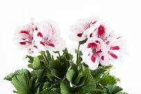 flowers-two-color-geranium-close-up-4407