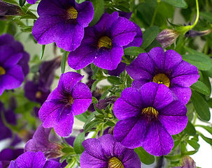 purple-flowers-vibrant-green-leaves-hang