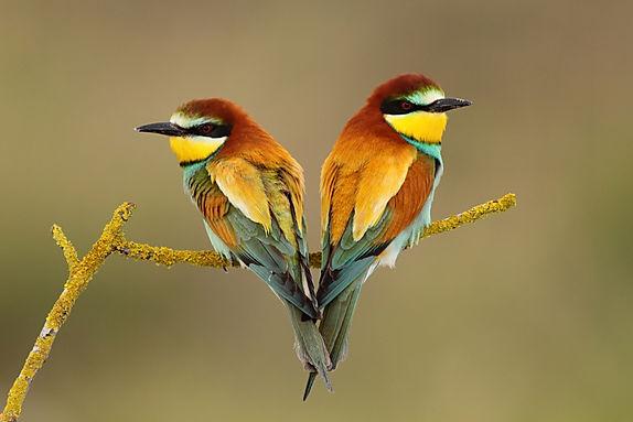 bee-eaters loving heart.jpg