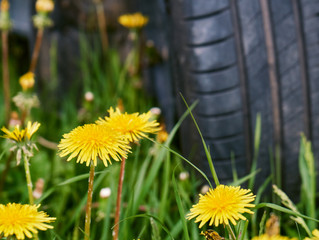 Save a Rubber Tree, Use a Dandelion: Alternatives for Making Tires